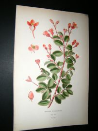 Step 1897 Antique Botanical Print. Begonia Fuchsioides